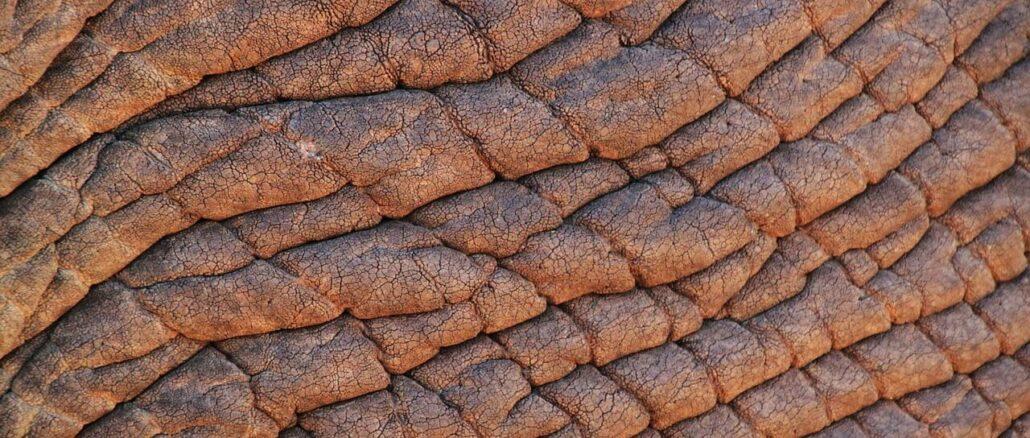 Elefantenhaut als Vergleich zur Lichtschwiele, einer Verdickung der Epidermis und Hornschicht der menschlichen Haut unter UV-B Einwirkung
