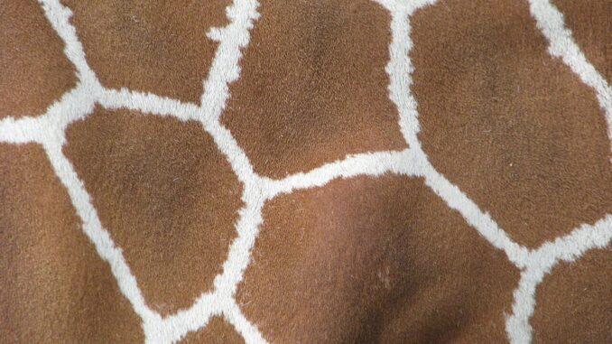 Schiraffenhaut mit dem typischen Muter als Beispiel für die Vielseitigkeit der Haut