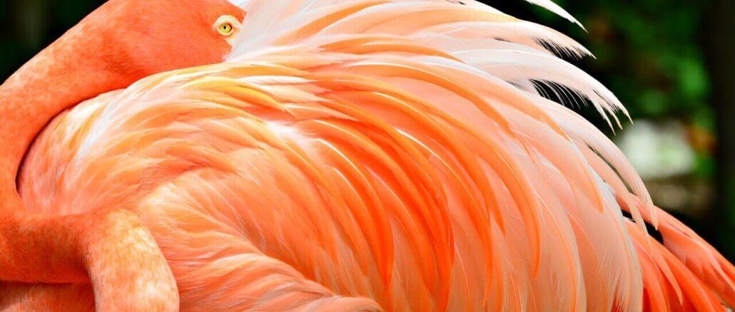 Flamingo mit rosa Gefieder gefärbt durch Astaxanthin