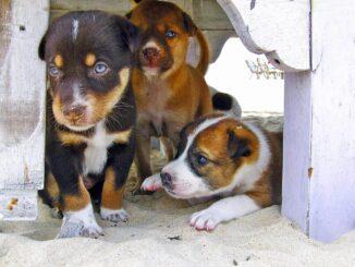Auch Hundewelpen können einen Sonnenbrand bekommen