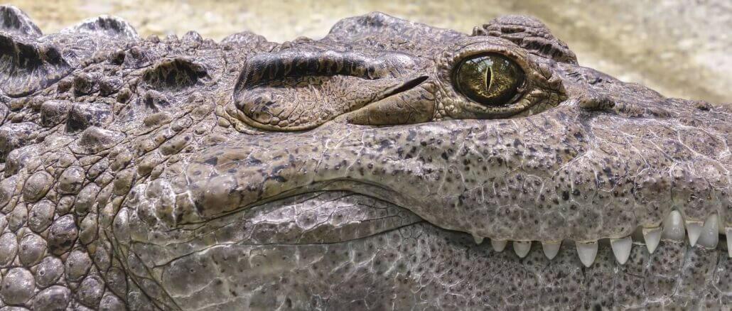 Krokodil cocodrile